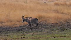 Roan antelope young male