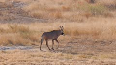 Roan antelope young male walking exits
