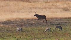 Roan antelope walking to waterhole warthogs in foreground