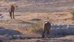 Roan antelope at waterhole one drinking one approaching