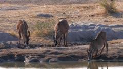 Roan antelope drinking at waterhole one kneeling