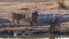 Roan antelope drinking at waterhole iritated by flies