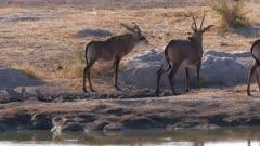 Roan antelope leaving waterhole