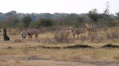 Roan antelope herd