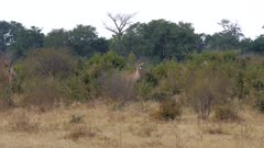 Roan antelope in scrub alert watchful