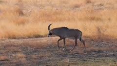 Roan antelope young male walking