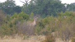 Roan antelope in scrub alert and watching