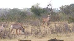 Roan antelope herd irritated by flies