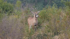 Roan antelope in scrub alert and watchful