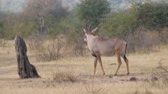 Roan antelope eating salt