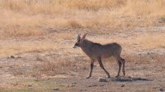 Roan antelope walking exits