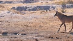 Roan antelope walking to waterhole kneels to drink