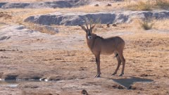 Roan antelope at waterhole exits