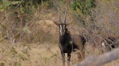 Sable antelope standing in scrub watching