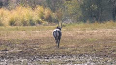 Sable antelope mature bull walking away