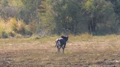 Sable antelope mature bull walking away exits