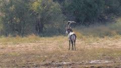 Sable antelope mature bull