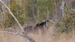 Sable antelope in scrub oxpeckers on his back