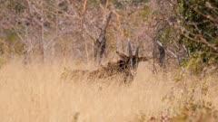 Sable antelope in scrub