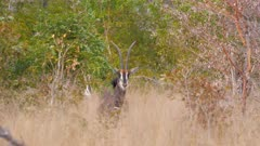 Sable antelope standing in thick scrub watching
