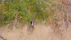 Sable antelope standing in thick scrub watching exits