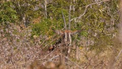 Sable antelope standing in thick scrub exits