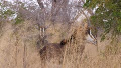 Sable antelope standing in thick scrub runs