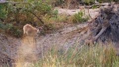 Sitatunga moving cautiously near the waters edge on a wetland island