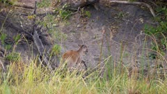 Sitatunga moving cautiously near the waters edge on a wetland island moves up into scrub