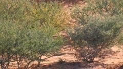 Steenbok female in scrub on sand dune