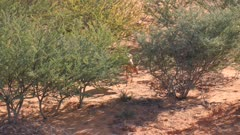 Steenbok female feeding in scrub on sand dune