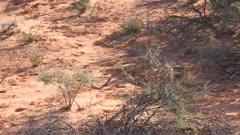 Steenbok female feeding in scrub on sand dune exits