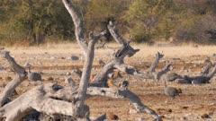 Black-backed jackal trotting through helmeted guineafowl heading for waterhole