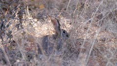 African savanna hare feeding on dry grass stems