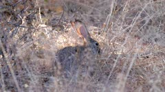 African savanna hare feeding on dry grass stems light shining through ears