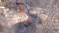 African savanna hare feeding on dry grass stems light shining through ears close up
