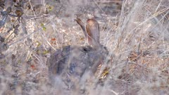 African savanna hare feeding on dry grass stems light shining through exits