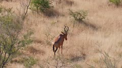 Red hartebeest male climbing a hill