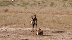 Red hartebeest male female and young