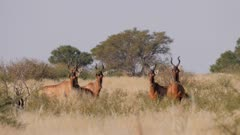 Red hartebeest mixed herd alert watching start to flee
