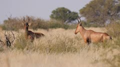 Red hartebeest mixed herd alert watching