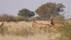 Red hartebeest alert watching