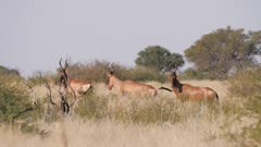 Red hartebeest mixed herd alert watching nervous