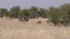 Red hartebeest and blue wildebeest running together
