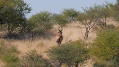 Red hartebeest male climbing hill