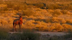 Red hartebeest at sunset exits