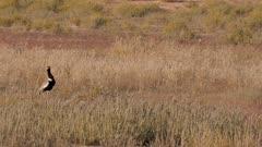 Northern black korhaan feeding in short grass exits