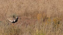 Northern black korhaan feeding in short grass