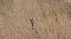 Northern black korhaan feeding in long grass exits