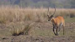 Red lechwe male showing rutting behaviour thrashing grass clump with horns